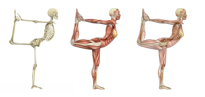 Bigstock-Yoga-Dancer-Pose--Anatomical--22082987